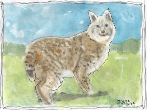 """Bobcat,"" a Bring-a-Smile watercolor by Clovis Heimsath, artist"