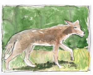 """Coyote,"" a Bring-a-Smile watercolor by Clovis Heimsath, artist"