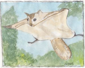 """Flying Squirel,"" a Bring-a-Smile watercolor by Clovis Heimsath, artist"