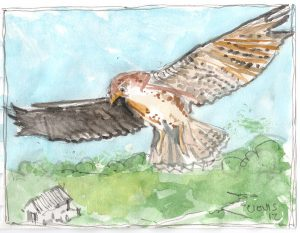 """Hawk,"" a Bring-a-Smile watercolor by Clovis Heimsath, artist"