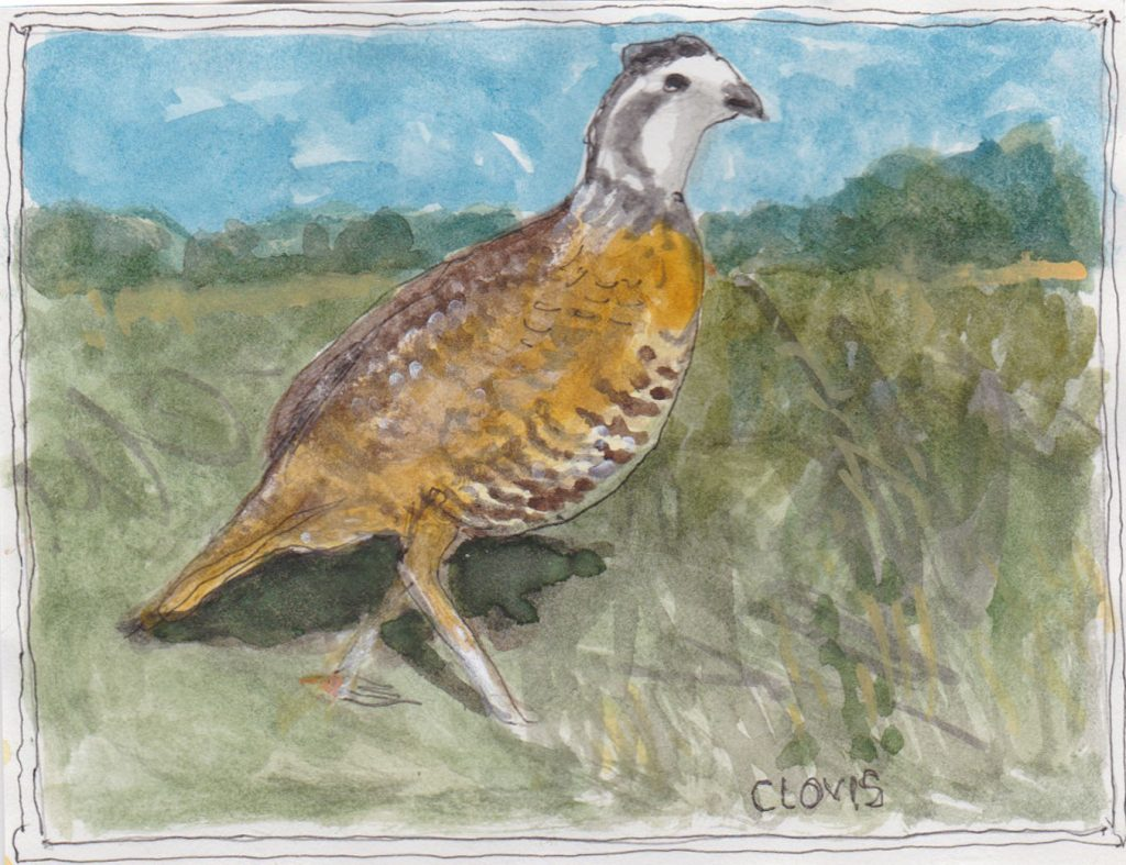 """Quail 2,"" a Bring-a-Smile watercolor by Clovis Heimsath, artist"
