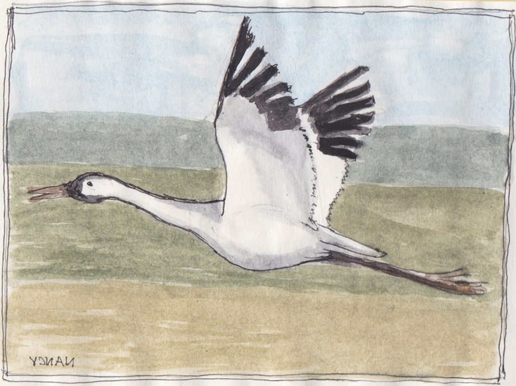 """Whooping Crane 3,"" a Bring-a-Smile watercolor by Clovis Heimsath, artist"