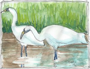 """Whooping Crane,"" a Bring-a-Smile watercolor by Clovis Heimsath, artist"